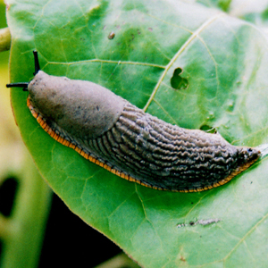 Can Cats Get Lungworm From Slugs