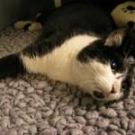 fracture repair cat  ealing vet