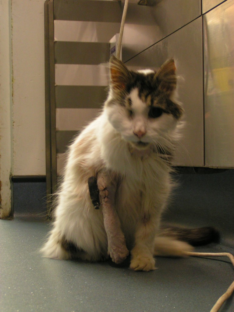 cat treated with fracture of leg at west london vet