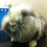 Rabbit with overgrown teeth